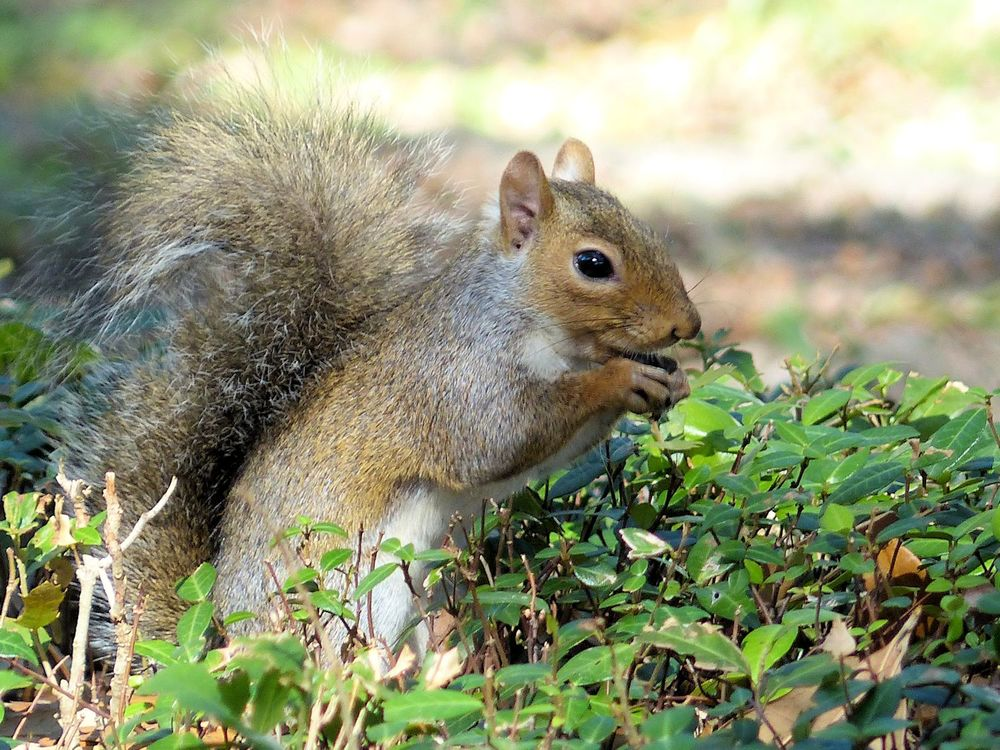Squirrel in neighborhood