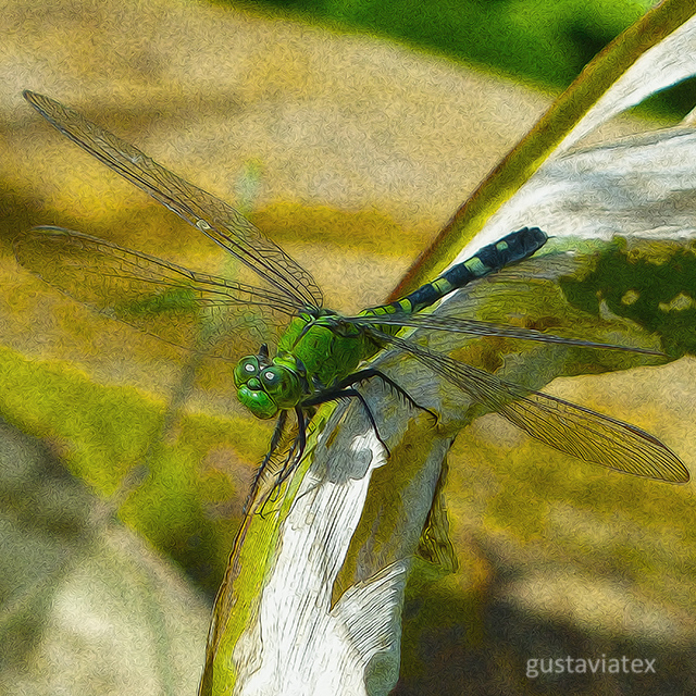 Easter Pondhawk, female