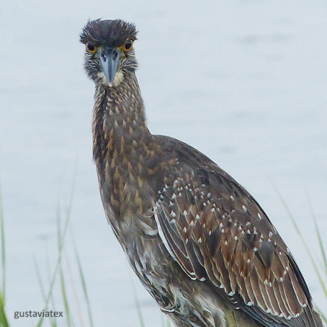 Juvenile Yellow-crowned Night Heron in the rain