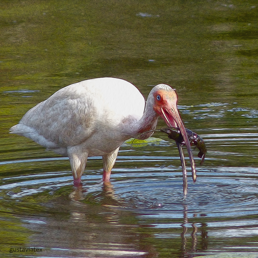 White Ibis with BIG crawfish