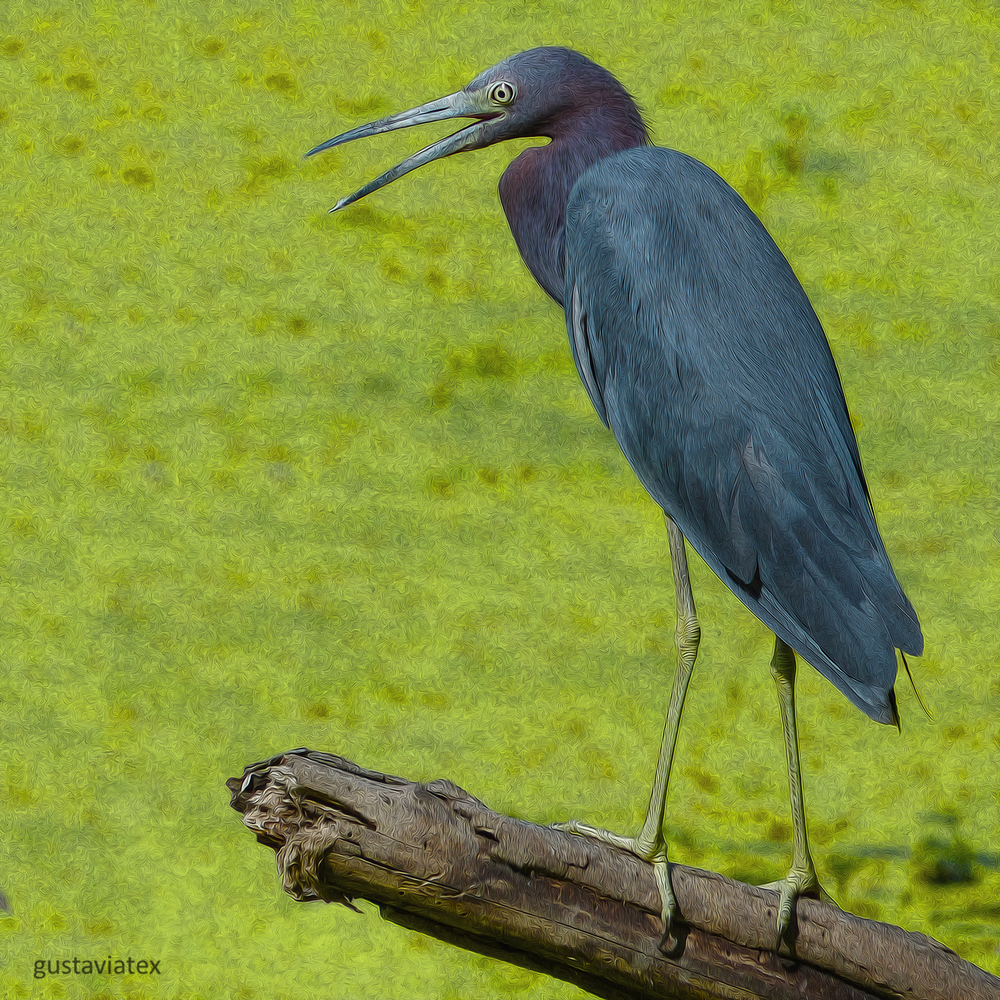 Little Blue Heron at Brazos Bend