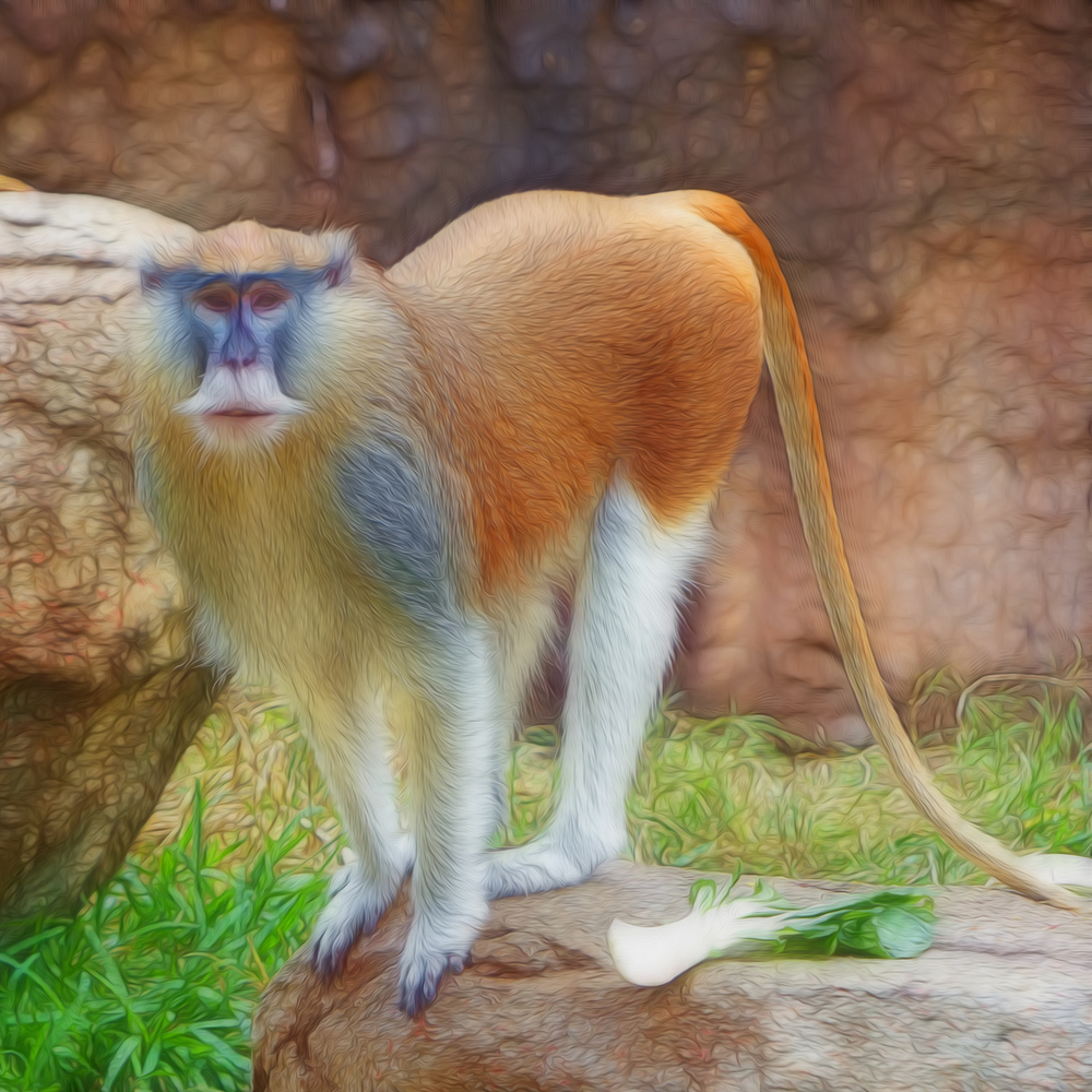 Patas Monkey from Houston Zoo