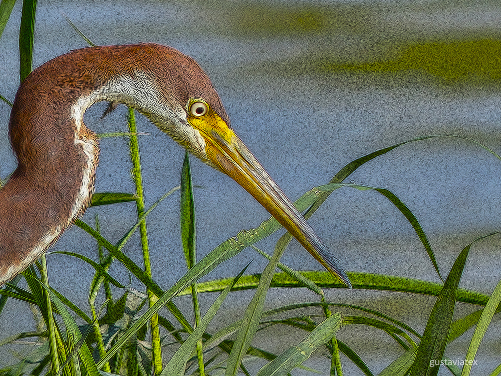 Juvenile Tricolored Heron at Storey Park