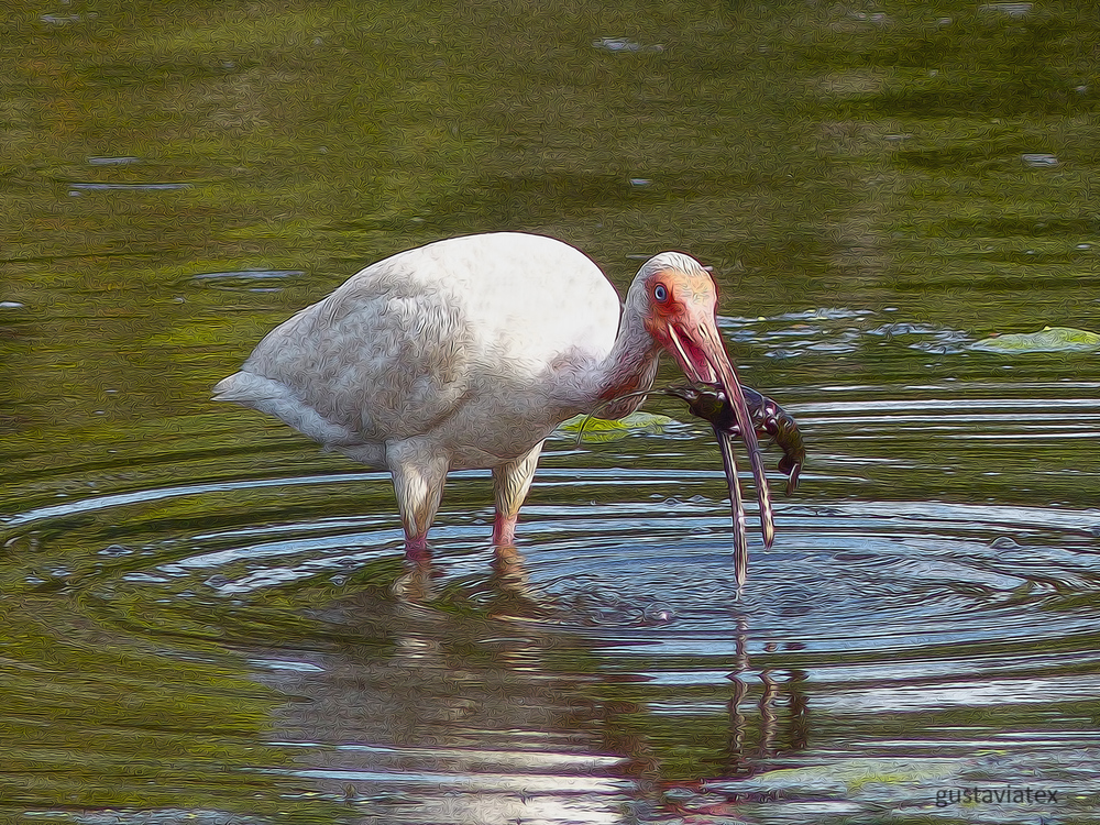 Homely White Ibis