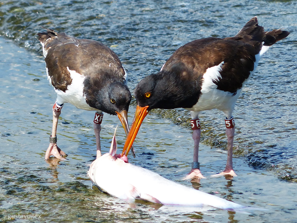 Adult Oystercatcher showing a youngster how it is done