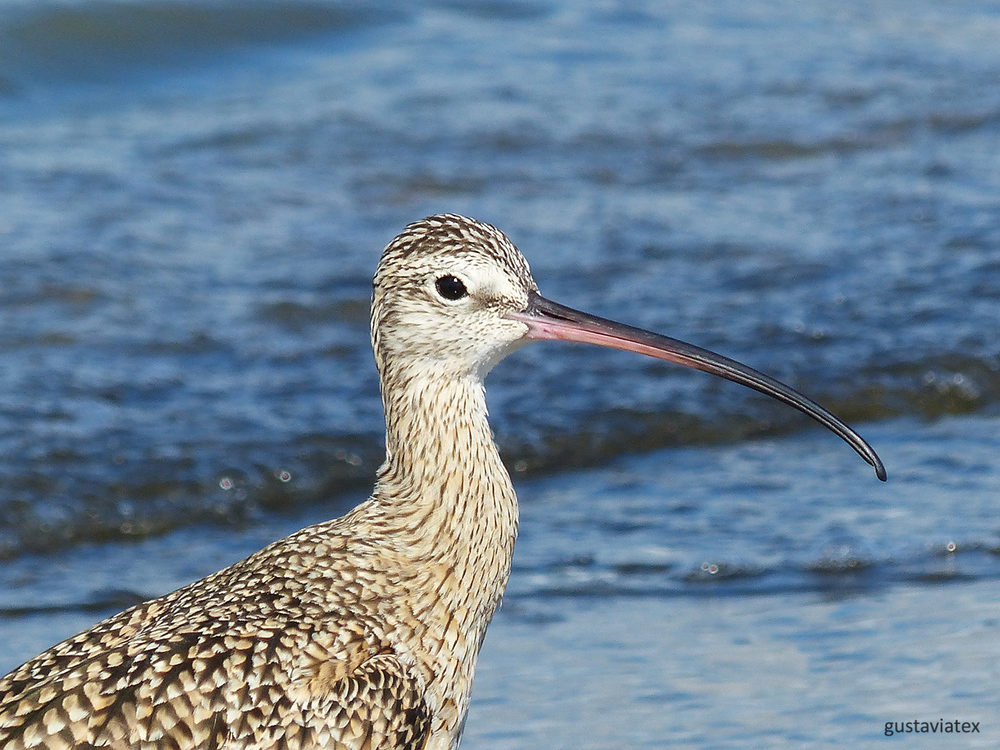 Close up of Long-billed Curlew