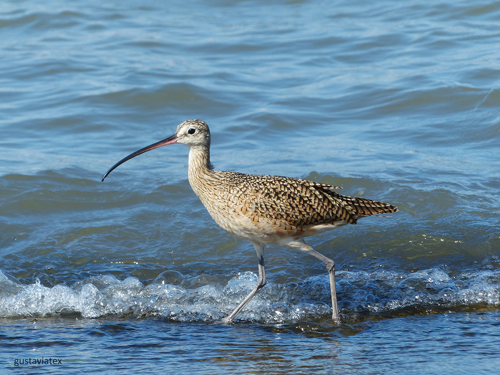 Long-billed Curlew hurrying