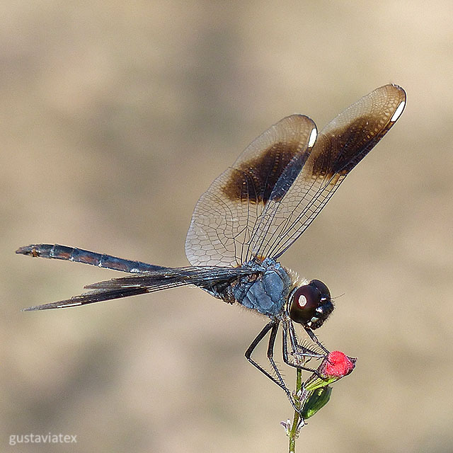 Maybe a Four-spotted Pennant dragonfly... maybe