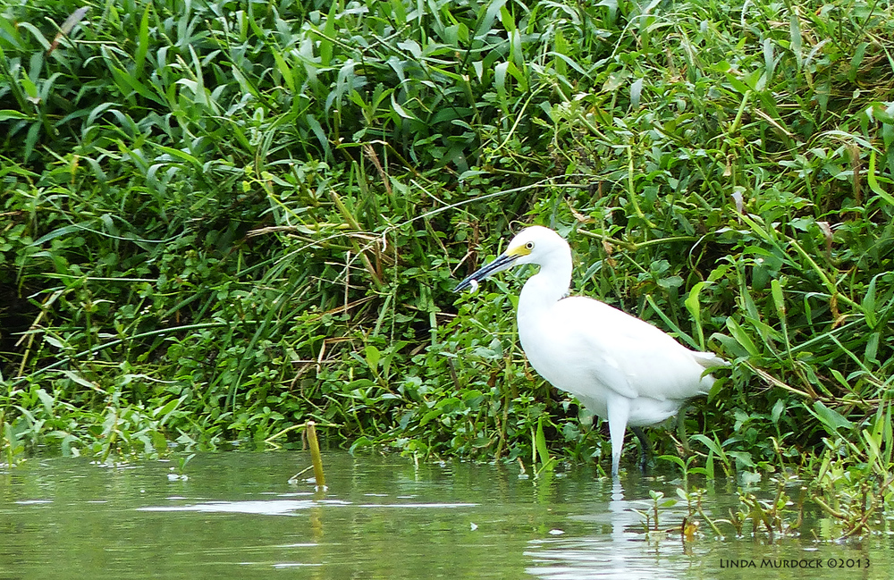 Snowy Egret on far side of bayou