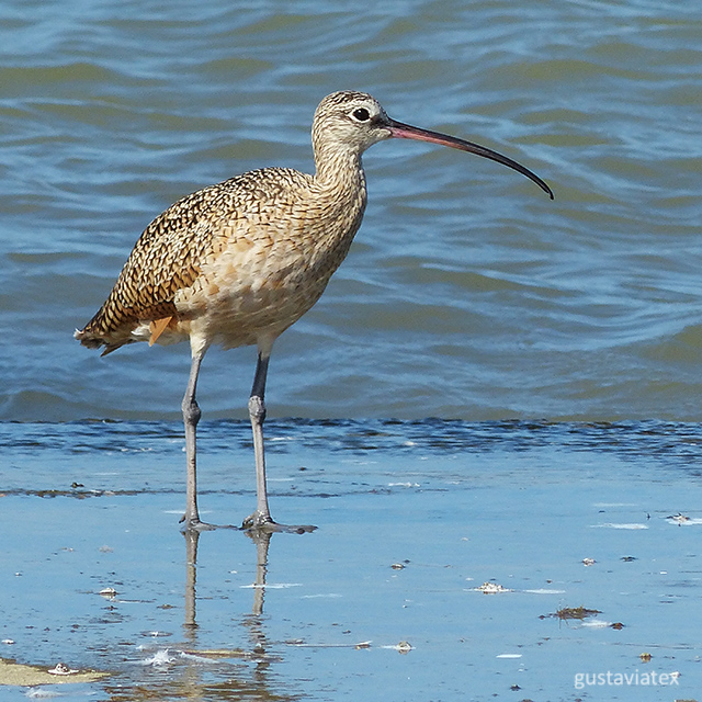 Long-billed Curlew at Texas City Dike