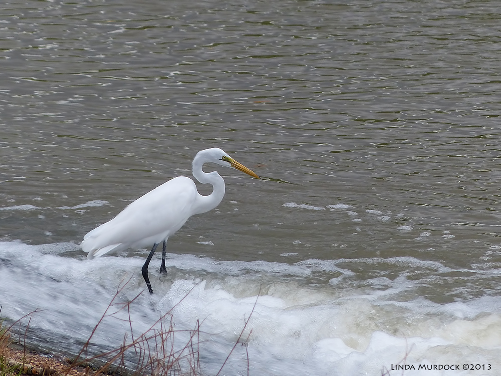 Great Egret at the bottom of the spillway