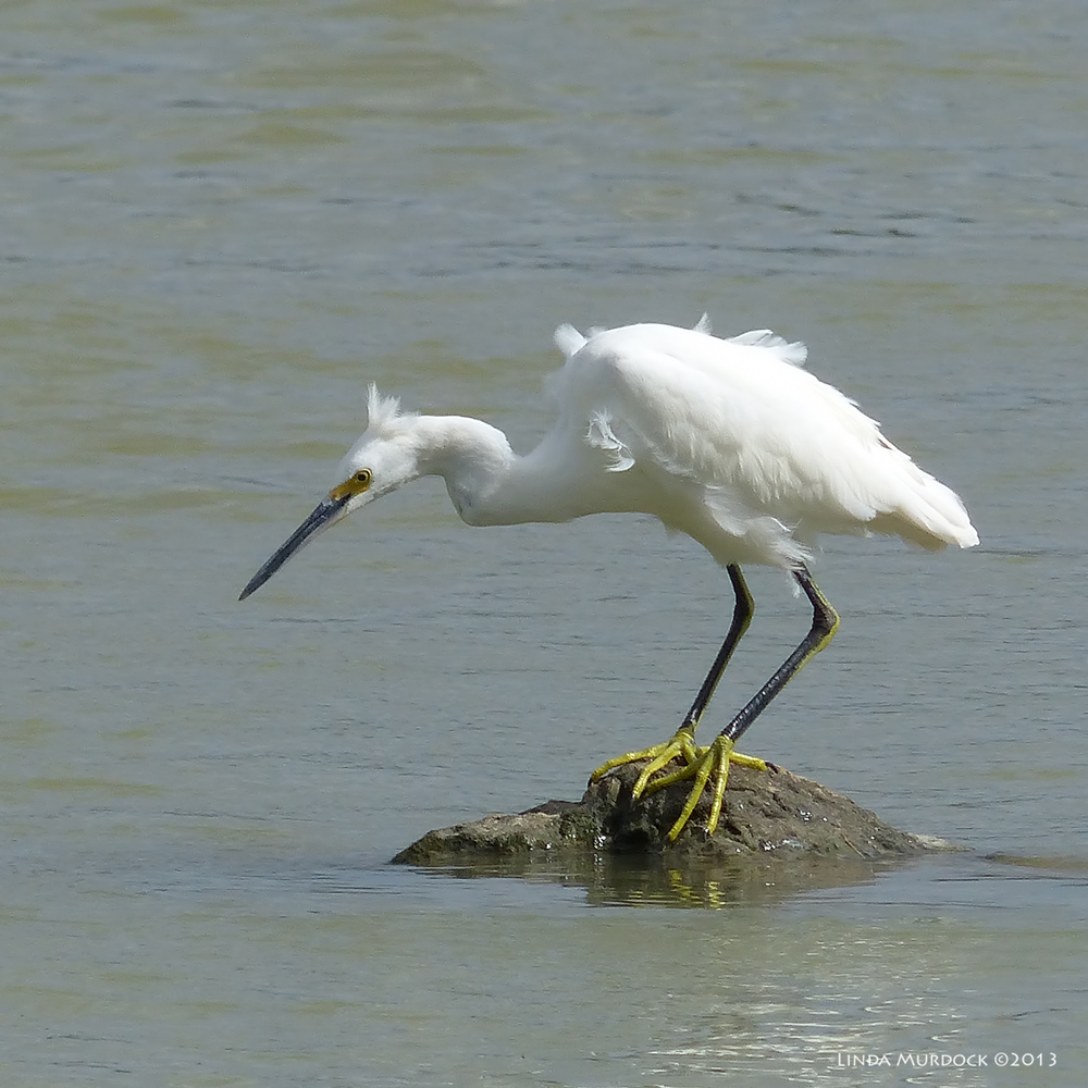 Cooperative Snowy Egret stepping out on tiny island