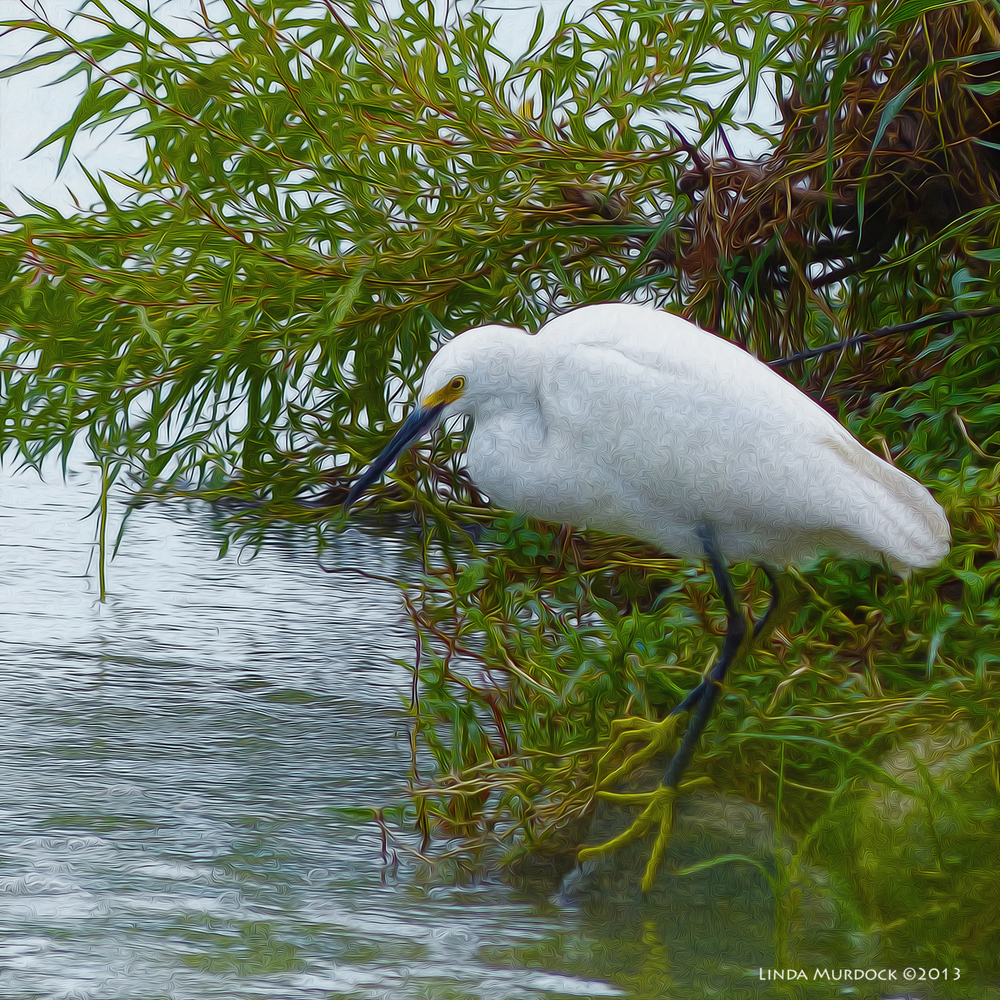 The ever elegant Snowy Egret