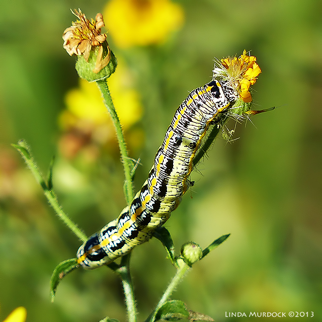 fancy caterpillar