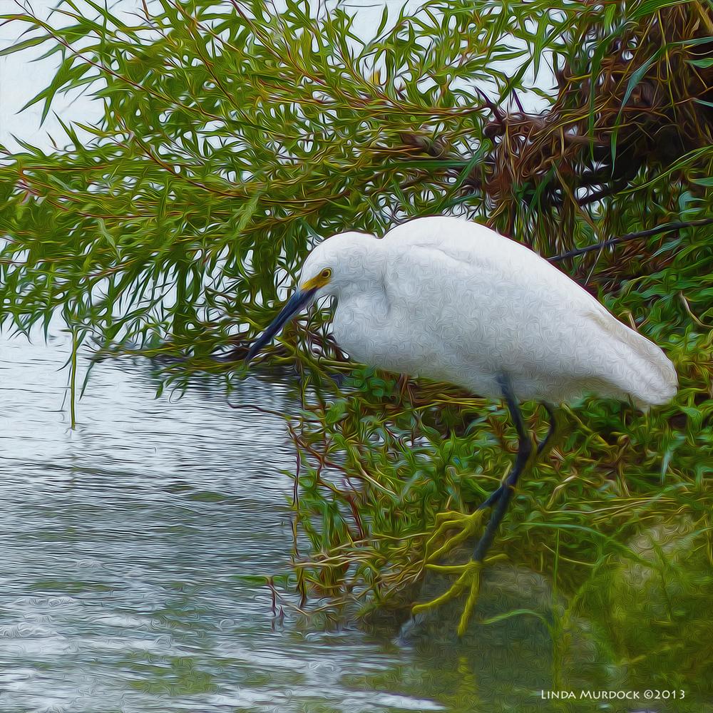 Snowy Egret at Storey Park