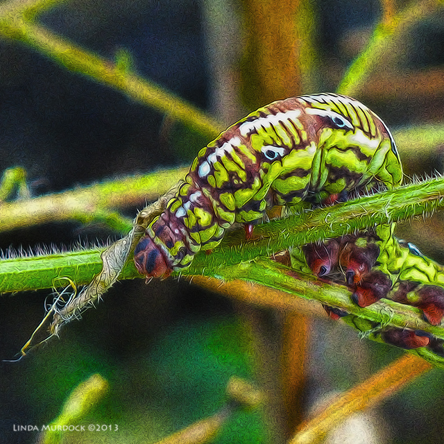Banded-sphinx Moth larva, Black variation