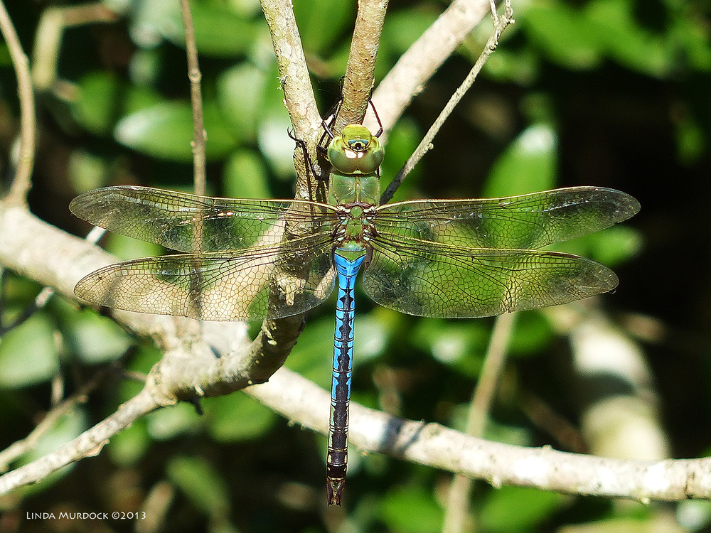 Huge  Green Darner dragonfly -  wingspread of  close to 5 inches