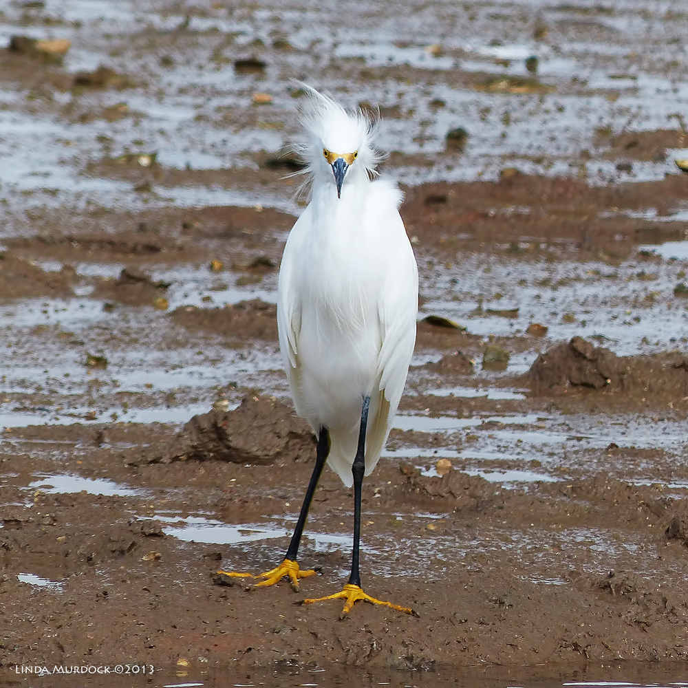 Snowy Egret in the mud