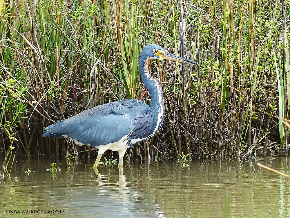 Skittish Tri-Colored Heron