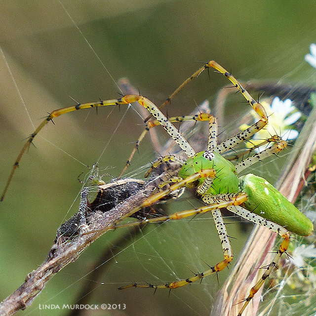 Green Lynx Spider and offspring