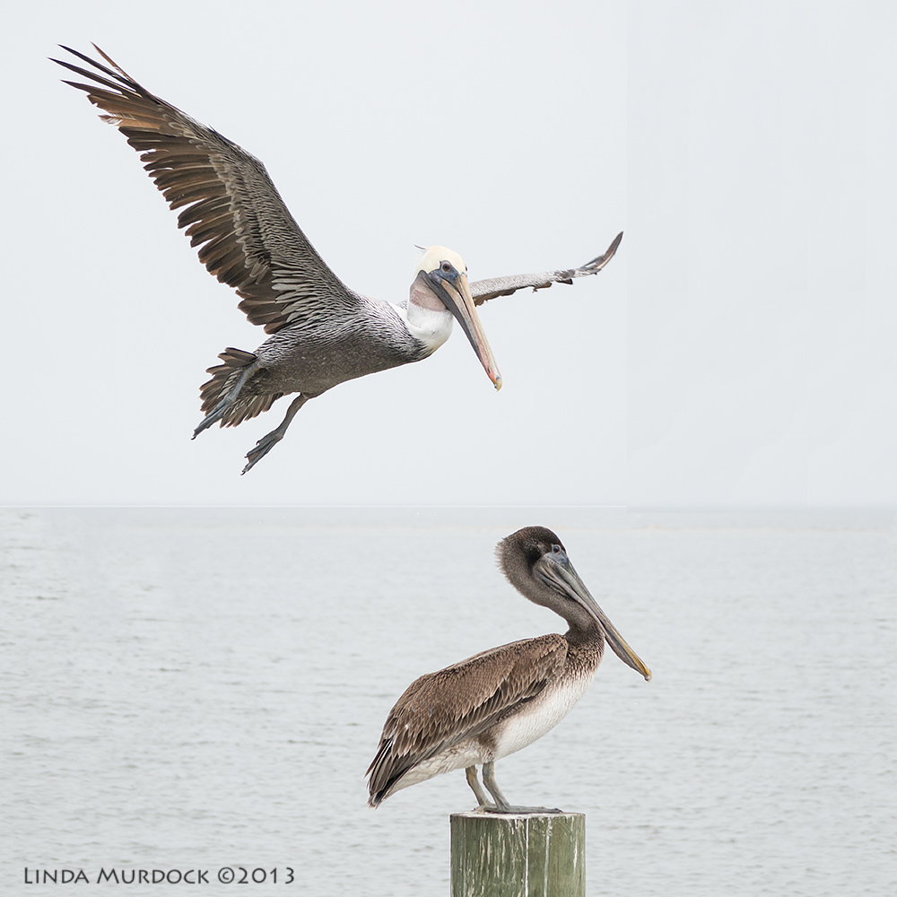 Adult Brown Pelican pulls rank on juvenile