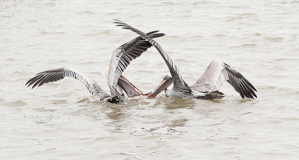 Pelican tug of war SonyA700 ISO 1000 1/1250 at f/5.6 focal length 300.0mm. Cropped for composition