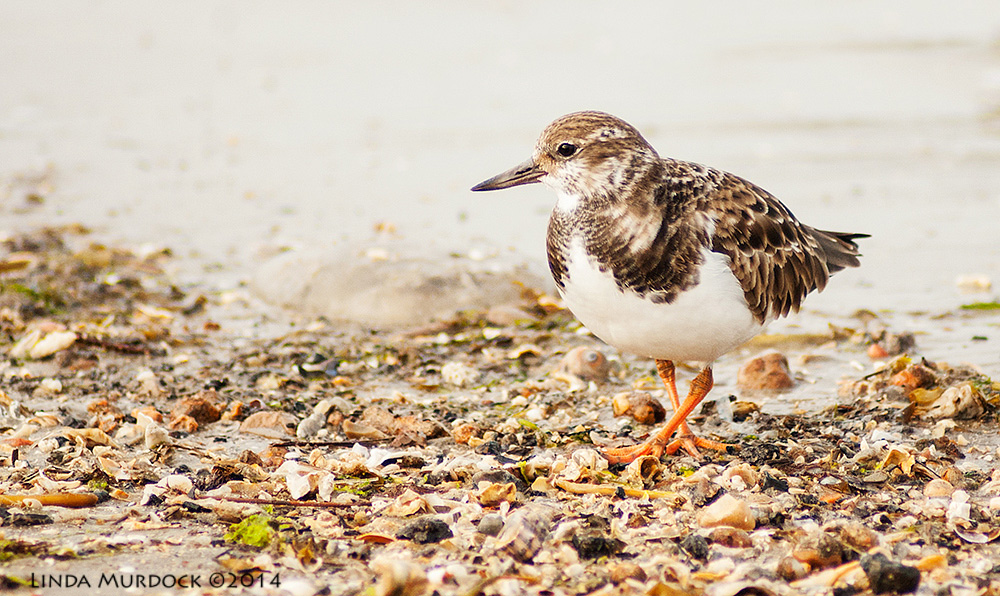 Ruddy Turnstone    Sony A700 with 75-300mm 1/1250 sec. f/5.6 ISO 1000