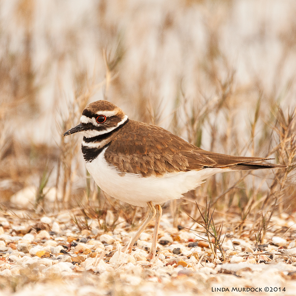 Killdeer Sony A700 with 70-400mm 1/1000 sec. f/5.6 ISO 640
