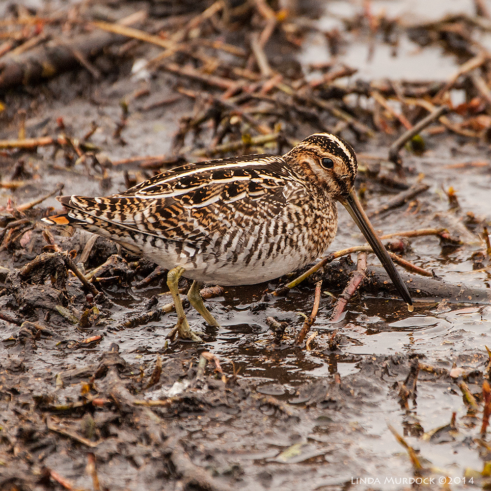 Wilson's Snipe, poking in the mud. Sony A700 with 70-400mm 1/1000 sec. f/5.6 ISO 1000