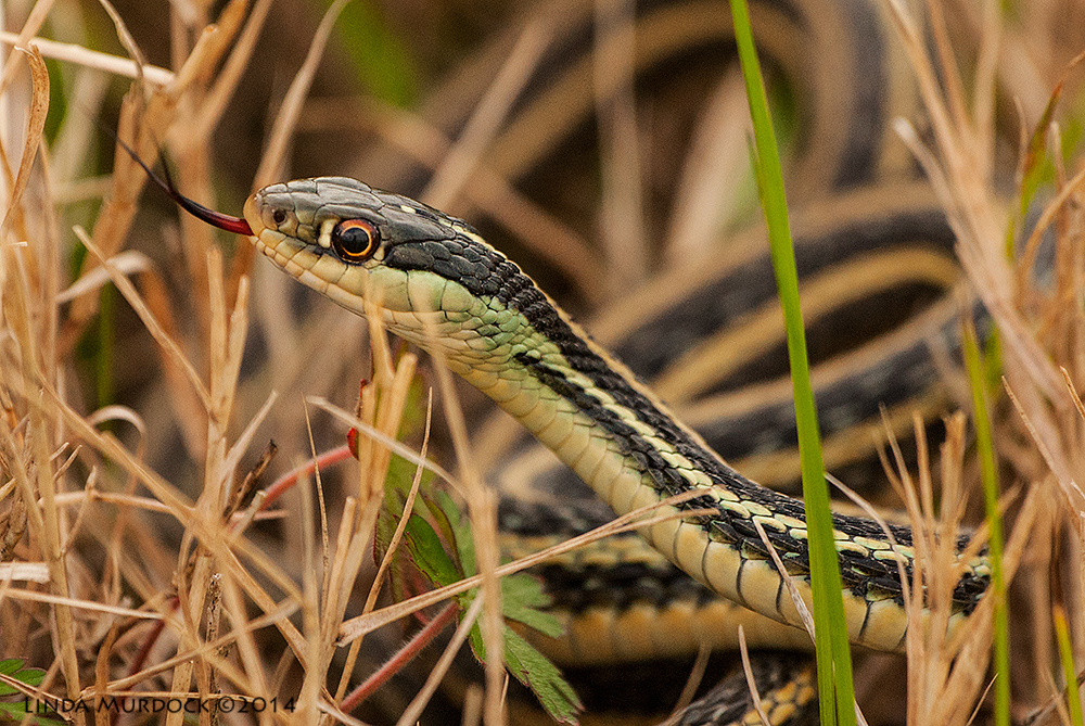 Garter Snake Sony A700 with 70-400mm 1/1600 sec. f/5.6 ISO 1000