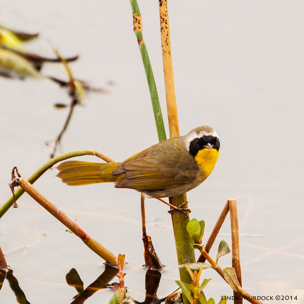 Uncommon Yellowthroat Sony A700 with 70-400mm 1/1000 sec. f/5.6 ISO 1000