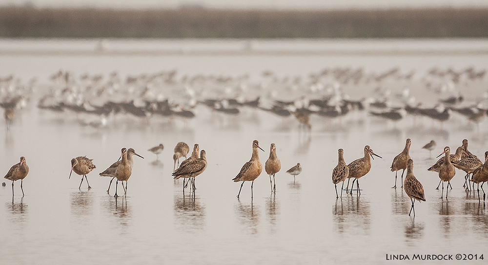 Marbled Godwits in front of Black Skimmers in front of gulls Sony A700 with 70-400mm 1/2000 sec. f/4.5 ISO 400
