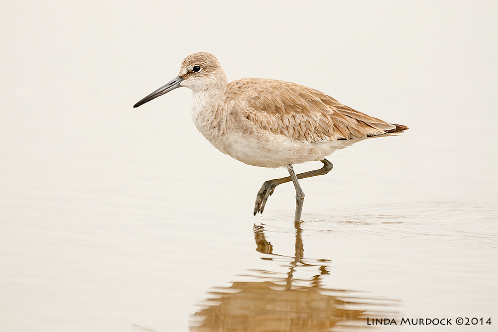 The often-overlooked ubiquitous Willet Sony A700 with 70-400mm 1/1000 sec. f/5.6 ISO 1000