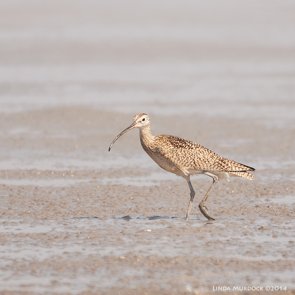 Last Curlew standing    Sony A700 with 70-400mm 1/1600 sec. f/5.6 ISO 400