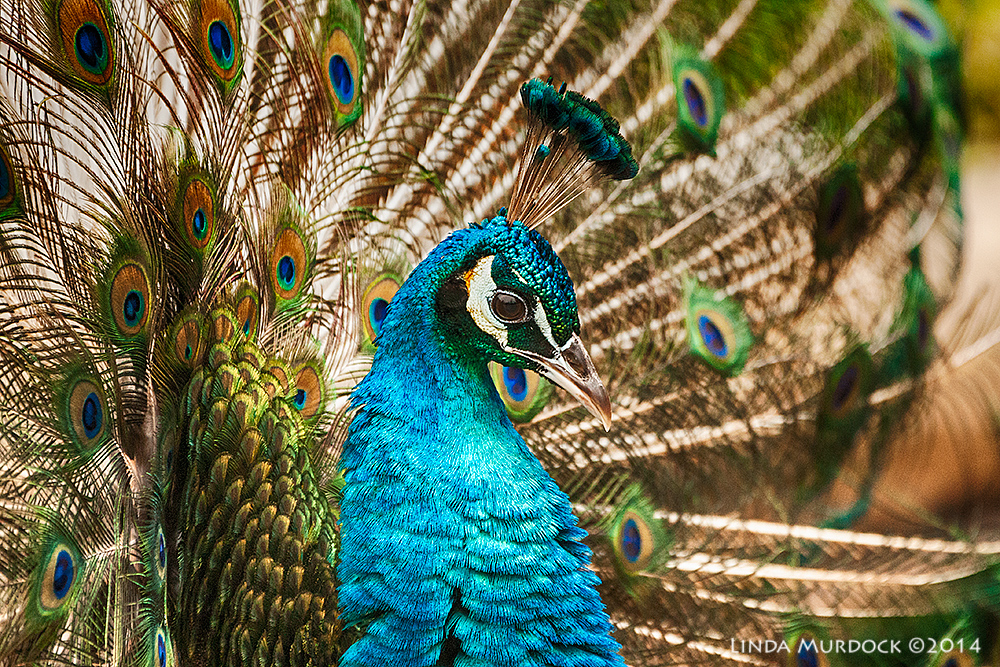 Peacock with all his colors    Sony A700 with 70-400mm 1/800 sec. f/5.6 ISO 1600