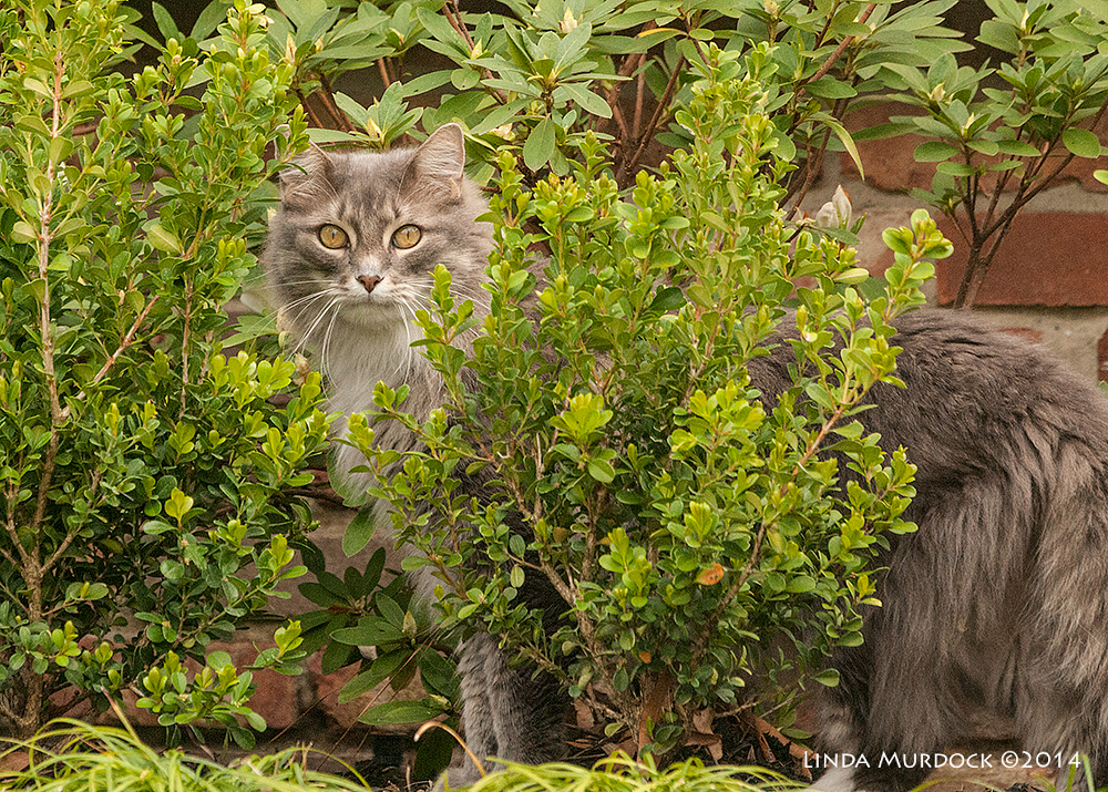 Neighborhood kitteh    Sony A700 with 70-400mm 1/1000 sec. f/8.0 ISO 1600