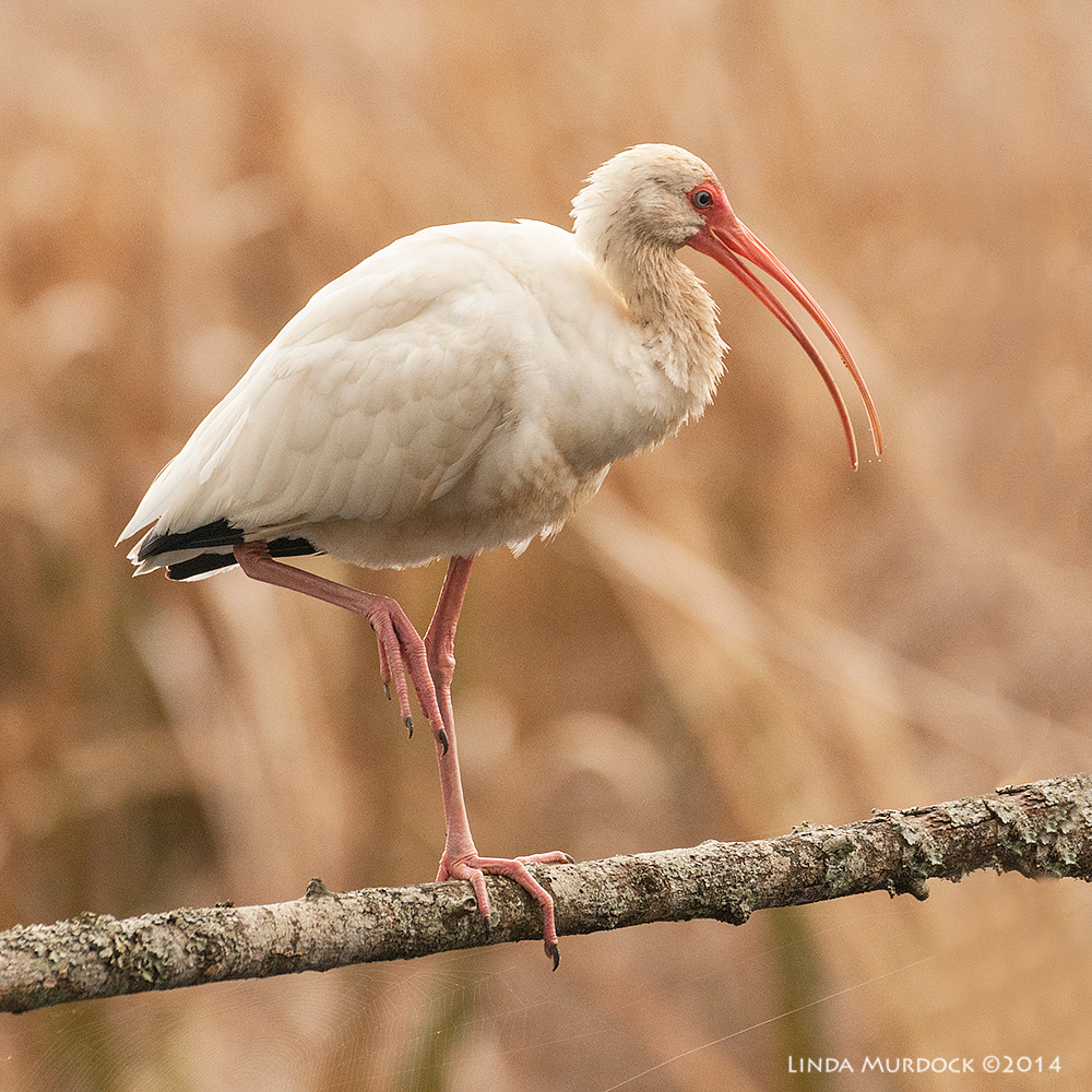 White Ibis looking good. This got me THREE features on Instagram.    Sony A700 with 70-400mm 1/1000 sec. f/5.6 ISO 1250