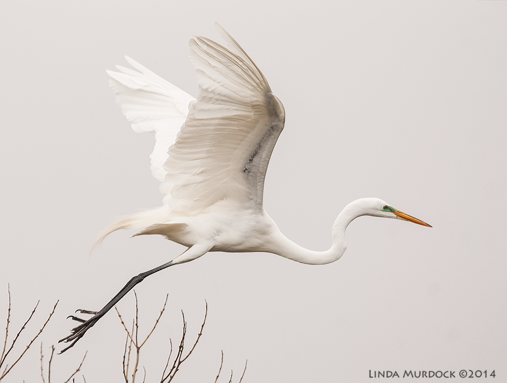 The amazing and elegant Great Egret Sony A700 with 70-400mm 1/2000 sec. f/6.3 ISO 1000