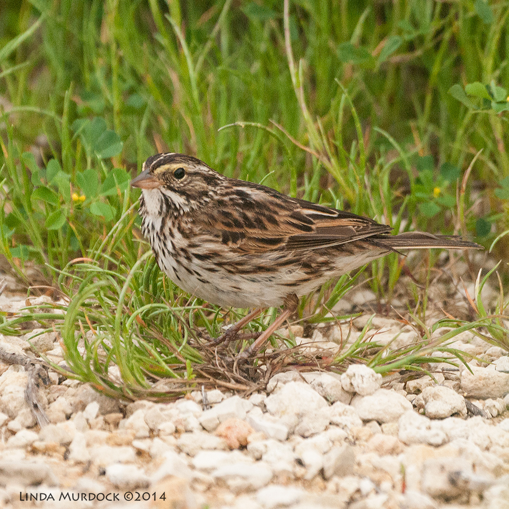 Savannah Sparrow     Sony A700 with 70-400mm 1/1000 sec. f/5.6 ISO 1600