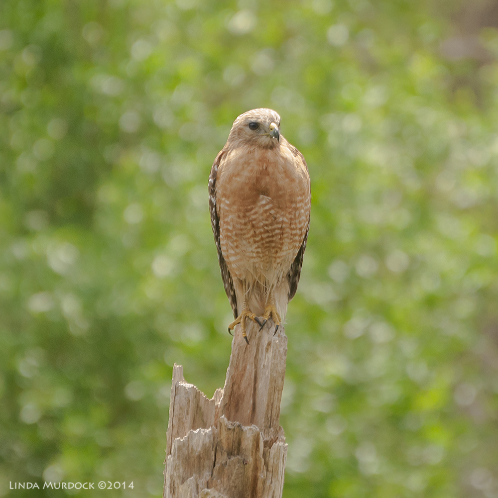 Red-shouldered hawk Sony A700 with 70-400mm 1/1000sec. f/5.6 ISO 1000