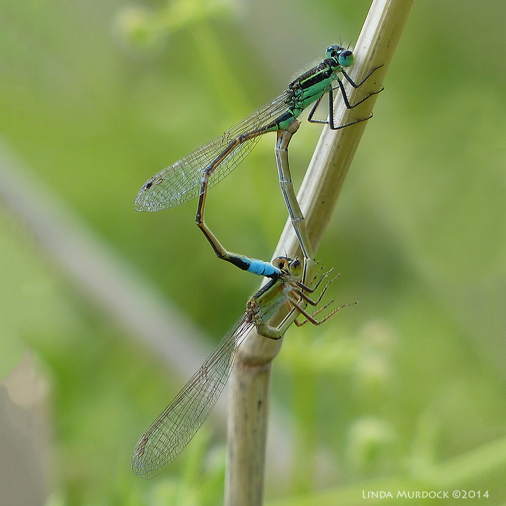 Mating damselflies Panasonic Lumix FZ200 automagic settings - 1/400sec. f/4.0 ISO 100