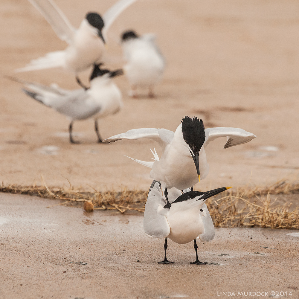 Sandwich Terns ... making sandwiches!    Sony A700 with 70-400mm 1/2000sec. f/7.1 ISO 1000