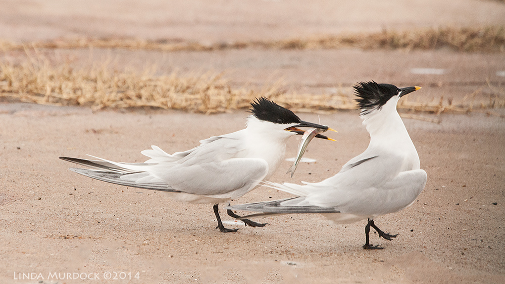 Male Sandwich Tern being snubbed...    Sony A700 with 70-400mm 1/2000sec. f/7.1 ISO 1000