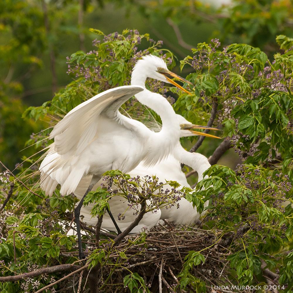 A pair of nesting Great Egrets. Look closely and you can see a blue egg through the sticks In the nest. Sony A700 with 70-400mm 1/1000 sec. f/7.1 ISO 1000