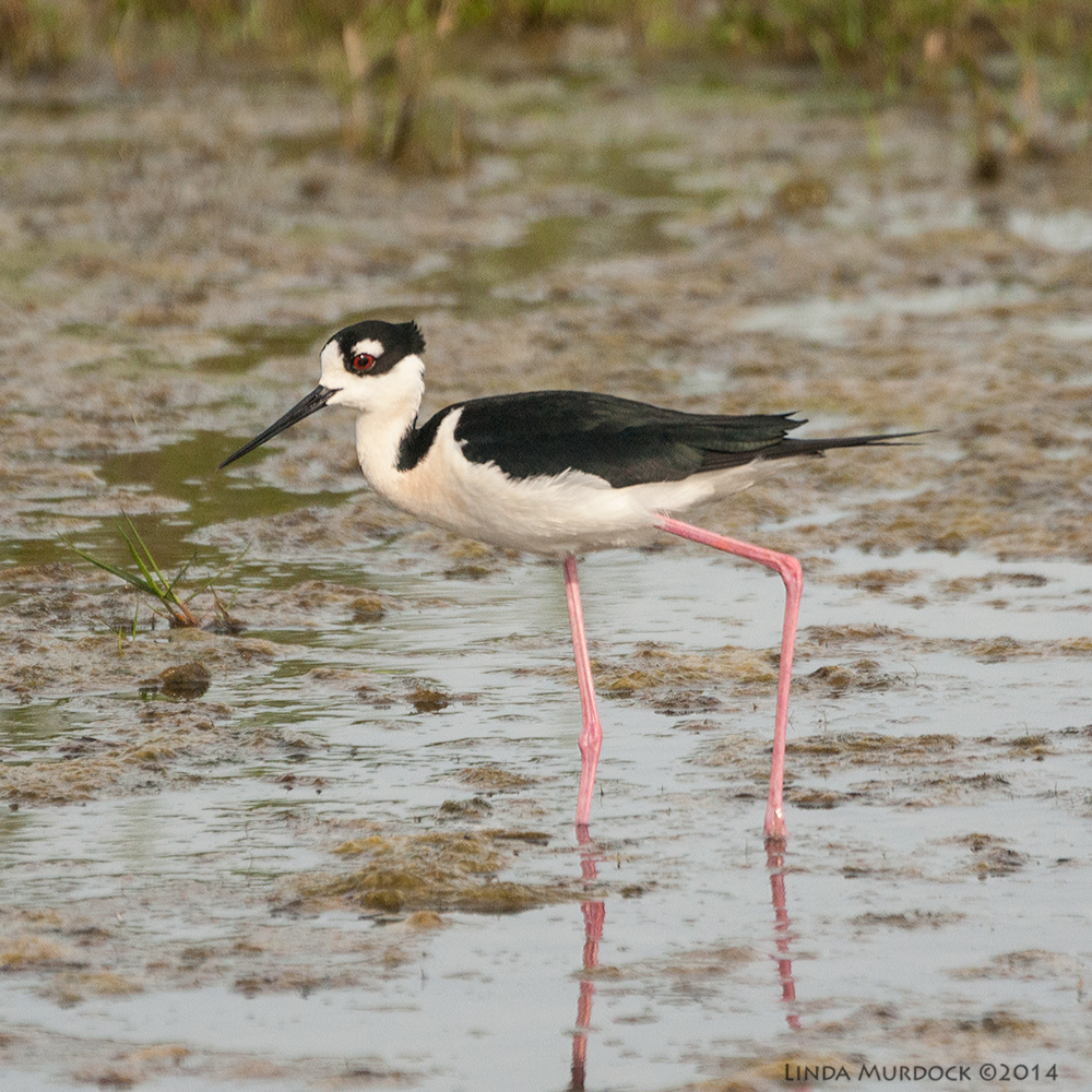 Black-necked Stilt (male)    Sony A700 with 70-400mm 1/3200 sec. f/5.6 ISO 1000