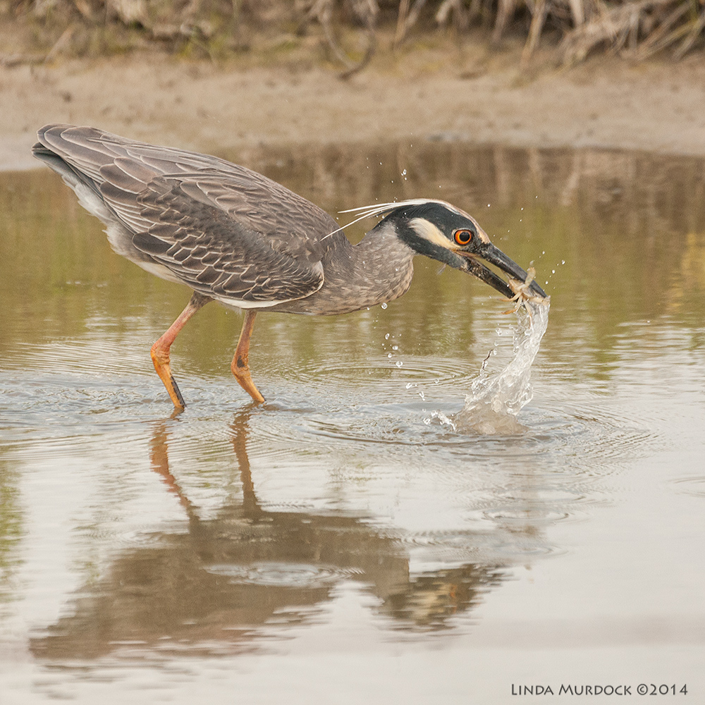 Young Yellow-crowned Night Heron Sony A700 with 70-400mm 1/1600 sec. f/5.6 ISO 1000