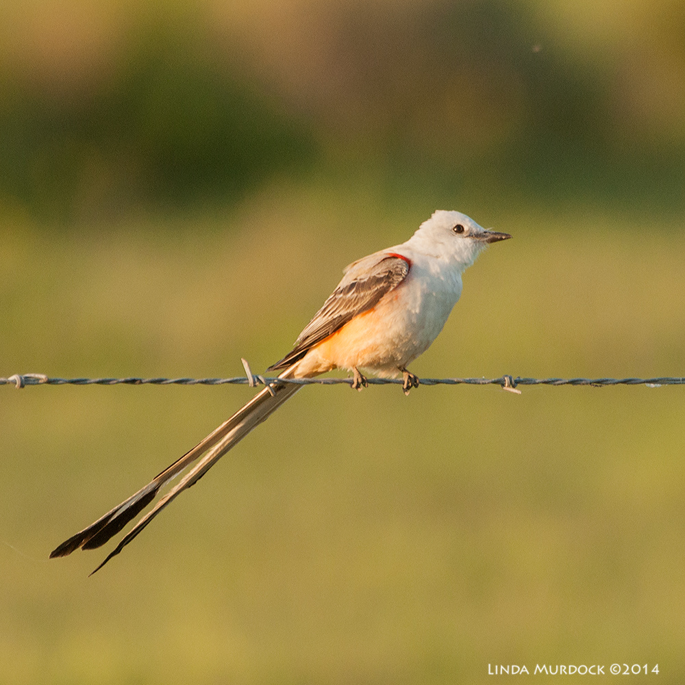 Scissor-tailed Flycatcher Sony A700 with 70-400mm 1/640 sec. f/6.3 ISO 1000