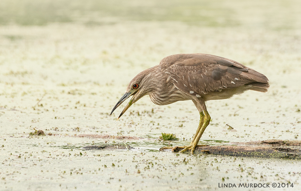Juvenile Black-crowned Night Heron Sony A700 with 70-400mm 1/1600 sec. f/6.3 ISO 1600