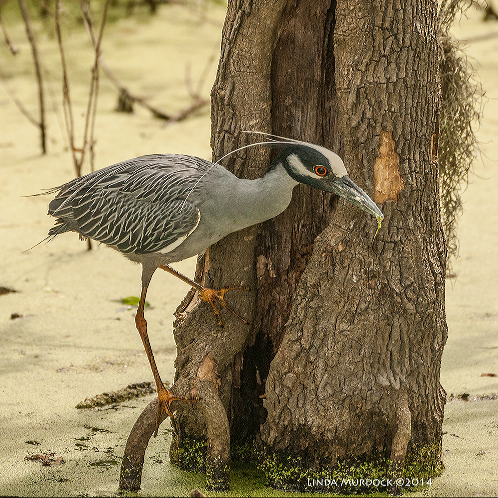 Yellow-crowned Night Heron on the swamp side of 40-acre Lake Sony A700 with 70-400mm 1/1000 sec. f/5.6 ISO 1000