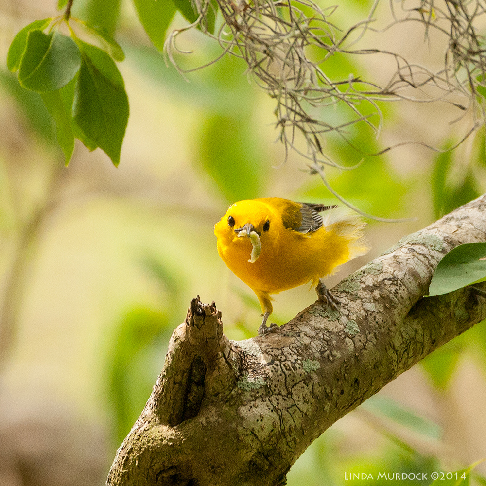 Prothonatory Warbler with lunch Sony A700 with 70-400mm 1/640sec. f/6.3 ISO 1000